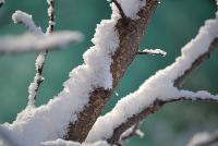 Zimní řez jádrovin