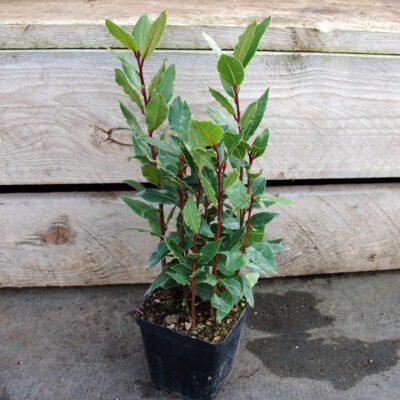 Bobkový list - Laurus nobilis