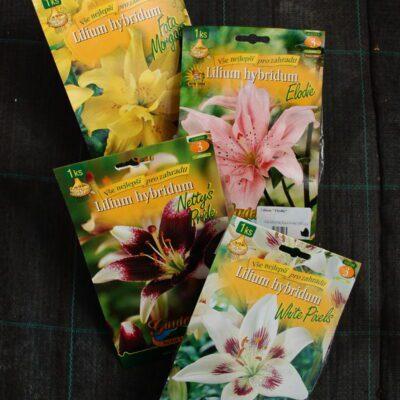 Lilie - Lilium hybridum