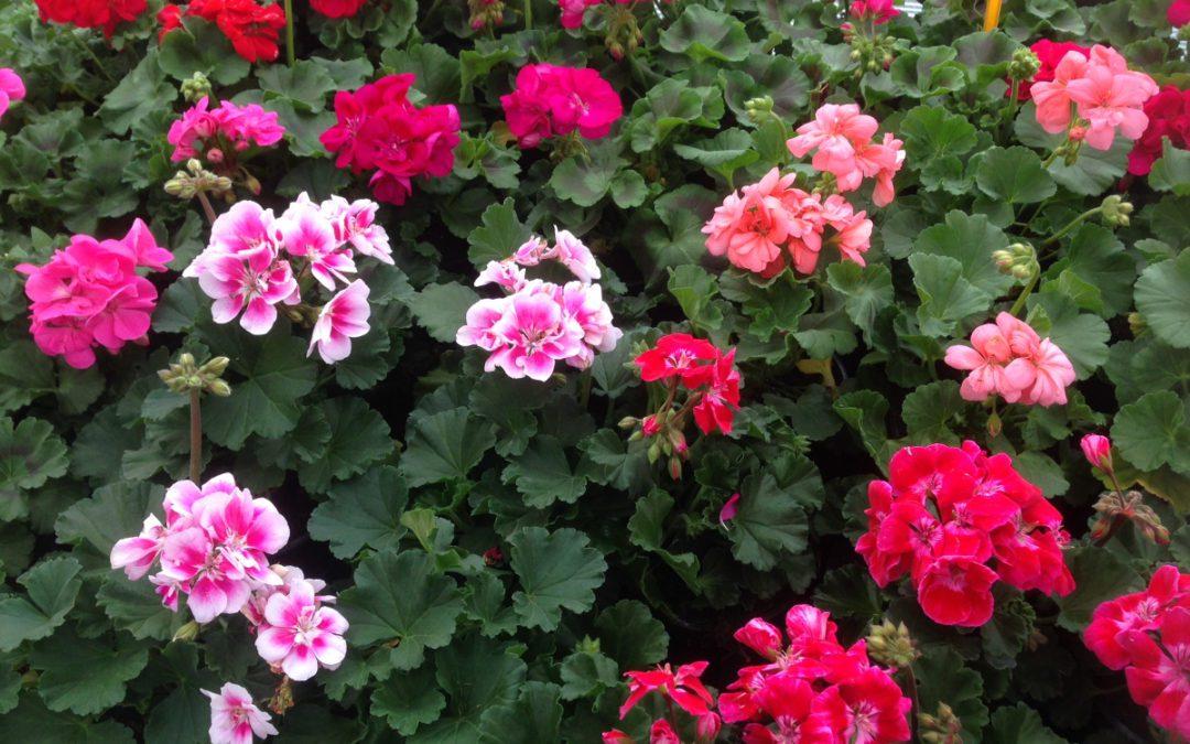 Prodej balkónových rostlin a sadby!!